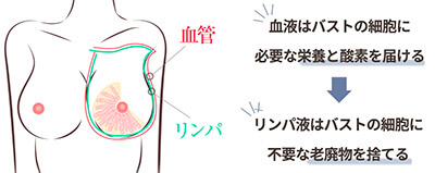 リンパと血管の関係(バストアップ効果)