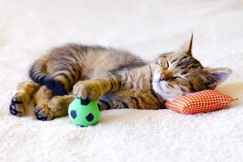 【猫の飼い方】一人暮らしで猫を飼う時のコツや注意点・・おすすめの餌など