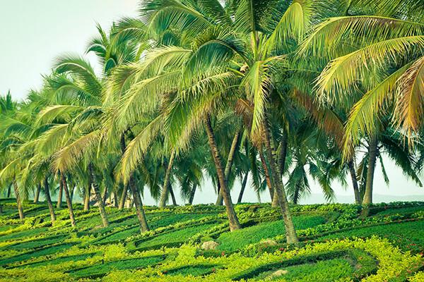 ココナッツ畑2